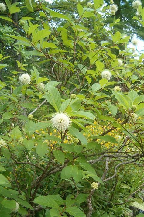 Cephalanthus occidentalis - Riverside Garden Centre