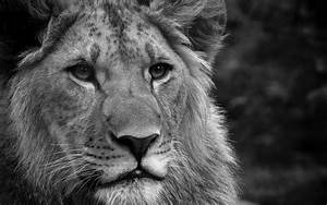 Black-and-white lion Desktop wallpapers 1680x1050