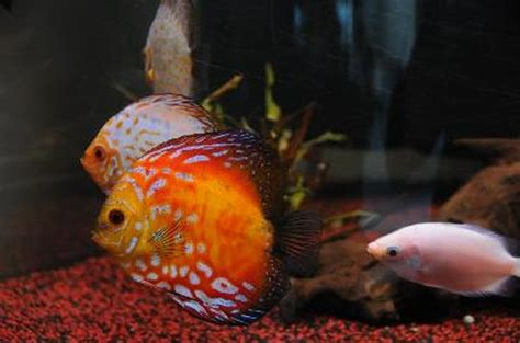 feed kissing gourami pets