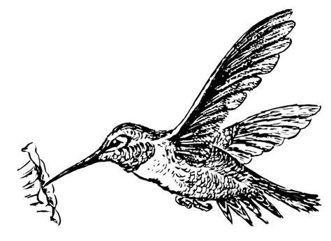 disegno da colorare colibri disegni da colorare