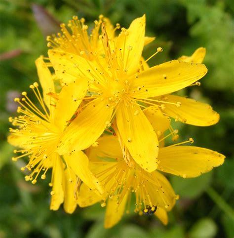 fiori do bach fiori di bach agrimony il fiore di chi indossa la