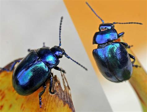 chrysomeloidea wikispecies