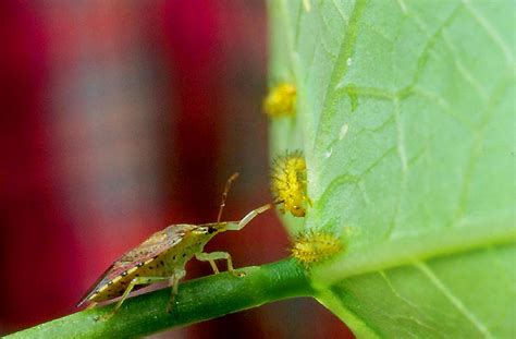spined soldier bug wikipedia