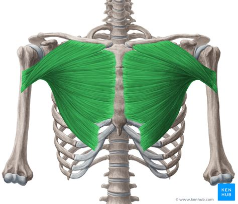 M. pectoralis major flashcards on Tinycards