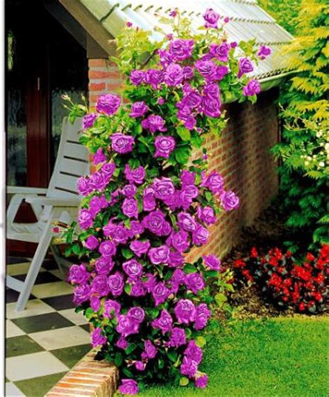 jual benih bibit biji bunga mawar rambat ungu purple