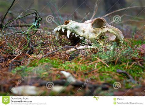 Animal Skull Dark Forest Stock Image