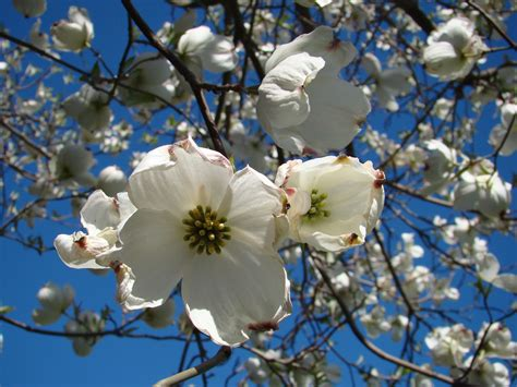 dogwood tree wallpaper gallery