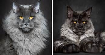 big maine coon cats for 65 breathtaking pictures of maine coons the largest cats