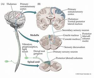 Anatomy of the Sensory System Continued...