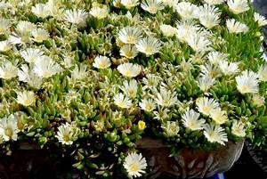 Plante Succulente Espèces Représentatives : delosperma planter et cultiver ooreka ~ Nature-et-papiers.com Idées de Décoration