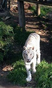 White Tiger Breathtaking looking animal at Audubon Zoo New ...