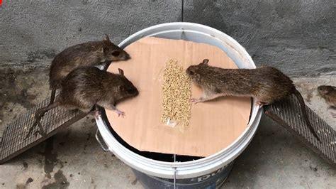 A simple but efficient rat trap - Canvids