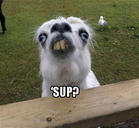 Alpaca Meme 28 Best Alpaca Memes Images On Pics