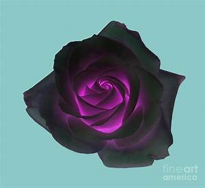 Black Rose With Purple Centre On Pale Turquoise Background ...