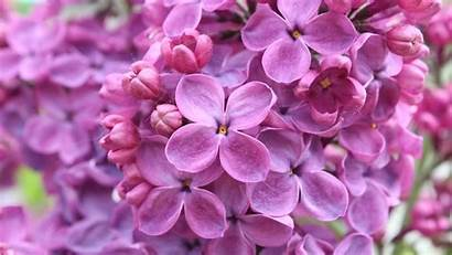 Lilac Purple Flowers Wallpapers 1600 1366