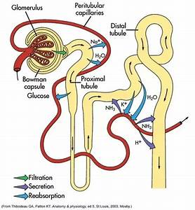 What Is The Cause Of Pressure In A Human Kidney