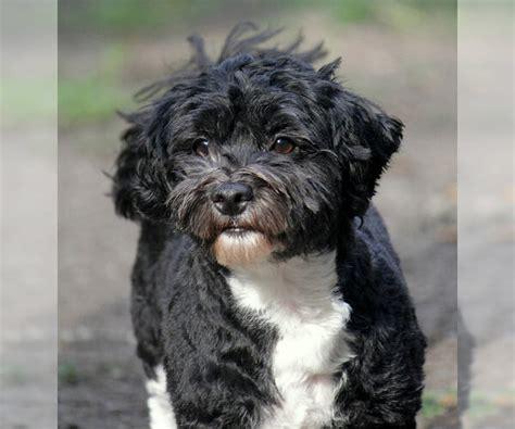 havanese breed information  pictures  puppyfindercom