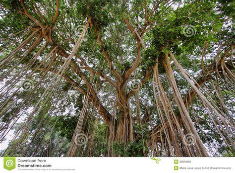 Very Big Banyan Tree In Java Island Stock Photo