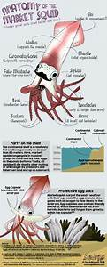 Anatomy Of The Market Squid  Doryteuthis Opalescens