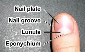 Lunula  Anatomy
