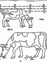 Coloring Ox Grass Eating Farm Animal Musk Pages Kidsplaycolor Printable Animals Getcolorings Projects sketch template