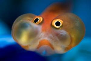 How to Photograph a Live Bubble Eye Goldfish by Emily K ...