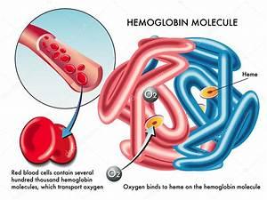 Structure Of Human Hemoglobin Molecule  U2014 Stock Vector