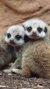 Wallpaper Meerkat, suricate, Namib Desert, Namibia, animal ...  Animal