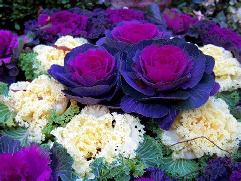ornamental cabbage perennial ornamental cabbage bah 231 e teras balkon garden terrace balkony pinterest cabbages