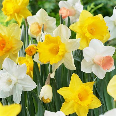 bloomsz sox calla bulbs 5 pack 06094 the home depot