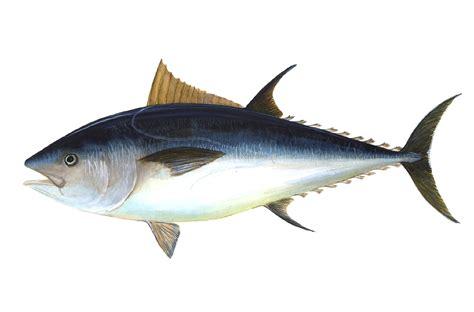 tuna fish bluefin tuna big game hunters and the conservation