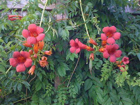 flowering vine trumpet vine flowers and quot fruit quot walter sanford s photoblog