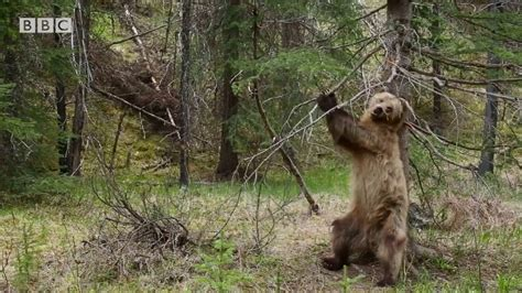 bears dancing  jungle boogie planet earth ii youtube
