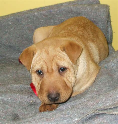 lab pei labrador retriever with shar pei mix dog