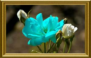 Sky Blue Rose Flower Wallpaper | www.pixshark.com - Images ...