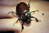 Large Scarab Beetle