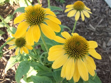 coneflower varieties echinacea double scoop bubble gum something for almost nothing