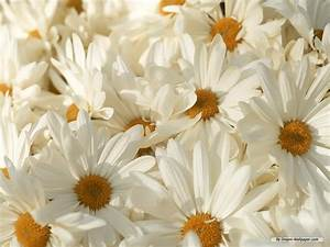 Wallpapers of Flowers: White Flowers Wallpapers