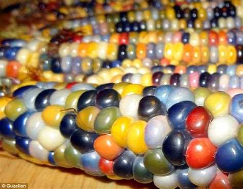 multicoloured corn vivid multi coloured corn grown by native american farmer over years of painstaking breeding