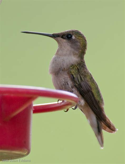 when do you put hummingbird feeders out garden guides
