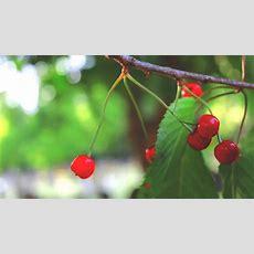 How To Identify Wild Cherry Trees Youtube