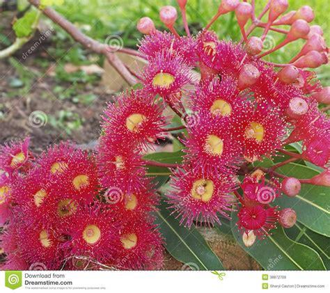 Australian Gum Tree Eucalyptus In Red Flower Stock Image