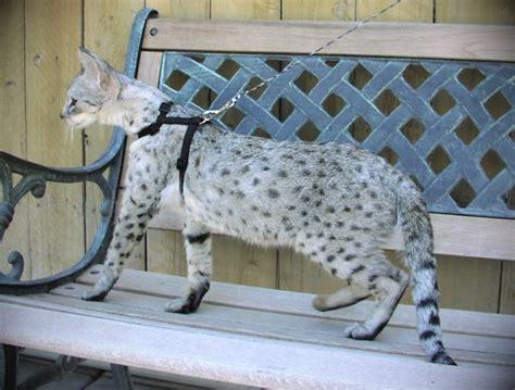 when are cats grown cats full grown info savannah cat savannah cats is a populer cat imgstocks com