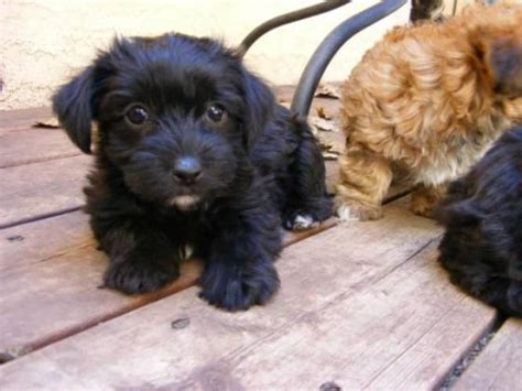 mixed breed dogs that don t shed tag for small breeds that don t shed litle pups