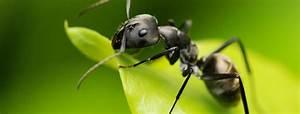Ameisen Bekämpfen Wohnung : sch dlinge ameisen effektiv bek mpfen anticimex ~ Michelbontemps.com Haus und Dekorationen