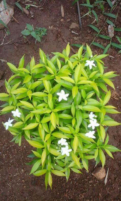jual tanaman hias rembosa mini kuning lapak pembibit