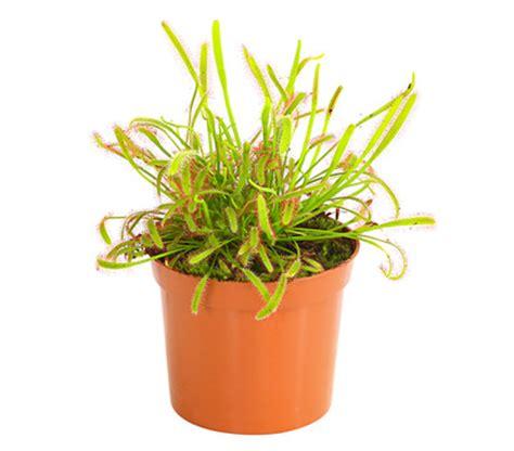 sonnentau pflanze pflege kap sonnentau dehner garten center