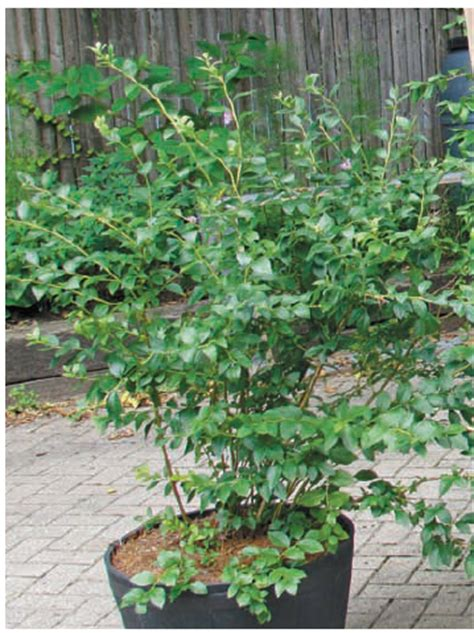 growing blueberries and foodscaping your garden quarto homes