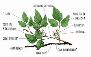 What Does Poison Ivy Look Like   Easy Identification Guide