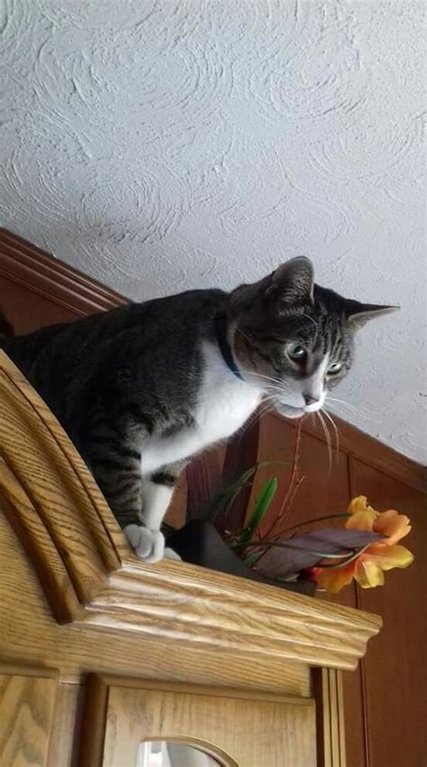 Tabby Meme - 1000 images about mininos on pinterest tabby cats kitty cats and cute cats